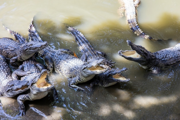 Crocodiles siamois du delta du mékong au vietnam