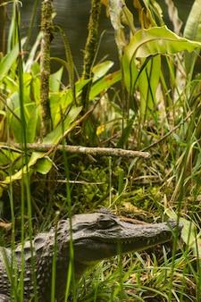 Crocodrile d'amazonie