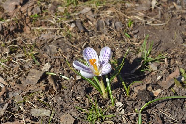 Crocus blanc de printemps solitaire bouchent