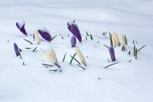 Crocus blancs et violets recouverts de neige