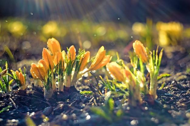 Le crocus, les crocus jaunes ou croci est un genre de plantes à fleurs de la famille des iris.