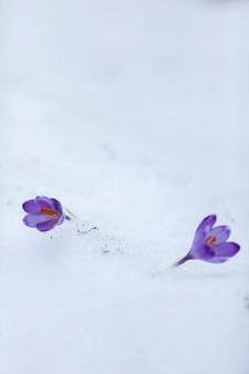 Crocus fleurit les premiers jours du printemps