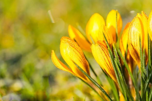 Crocus jaune dans le givre du matin