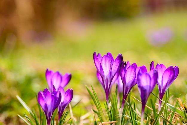 Les crocus sont décorés dans des couleurs violettes