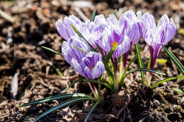 Crocus violet printanier lumineux et délicat dans le jardin tôt le matin ensoleillé. eveil des plantes dans la nature après l'hiver. crocus botaniques de la forêt fleurs sauvages. lit de fleurs avec crocus