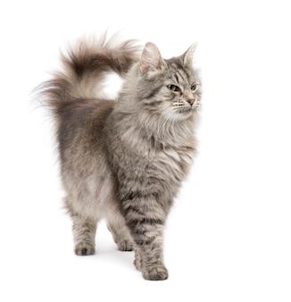 Croisement chat sibérien et chat persan