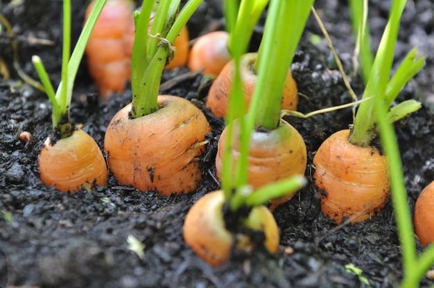 Croissance de carottes