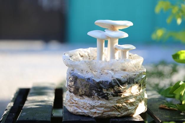 Croissance de champignons laiteux sur le sol de la ferme