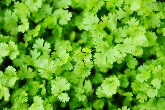 Croissance des plantes de coriandre