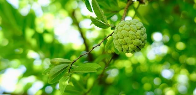 Croissance des pommes à la crème anglaise sur un arbre