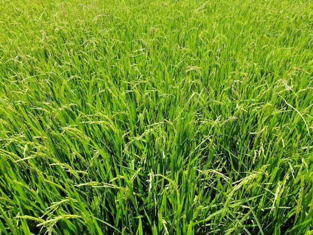 La croissance de la rizière de champ vert et lumineux à l'agriculture de campagne thaïlande