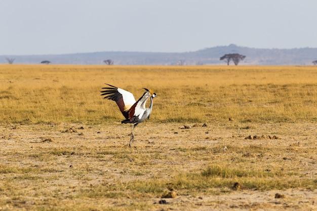Crone crane dance dans la savane amboseli kenya