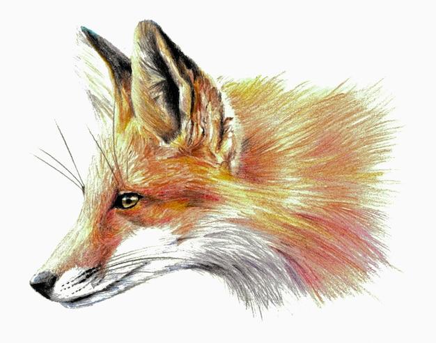 Croquis couleur - profil de renard. sur fond blanc. dessin au crayon détaillé