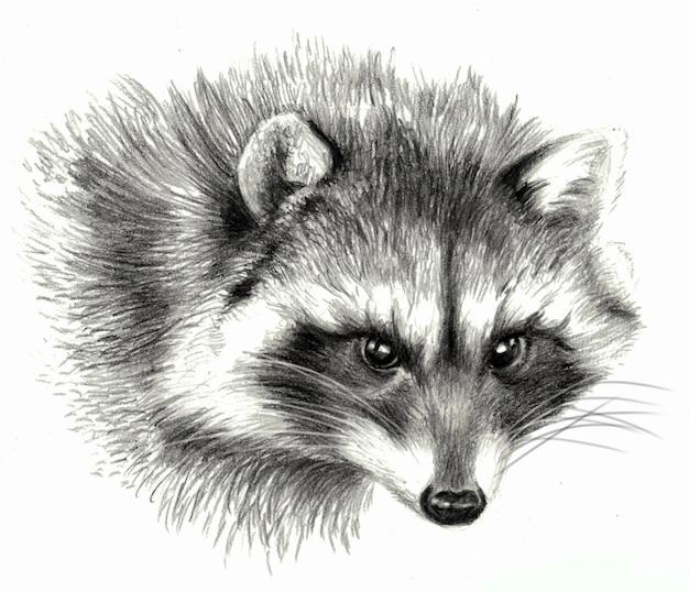 Croquis - portrait de raton laveur. sur fond blanc. dessin au crayon détaillé