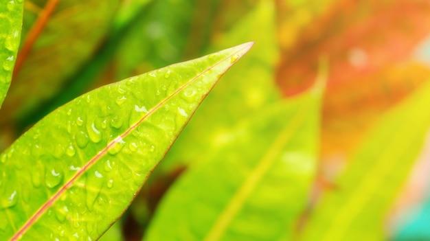 Croton, laurier panaché