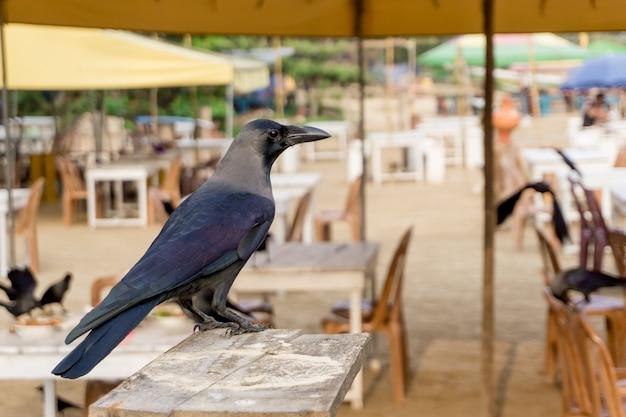 Crow cherche de la nourriture