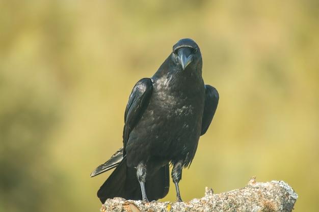 Crow pose avec fond vert non focus