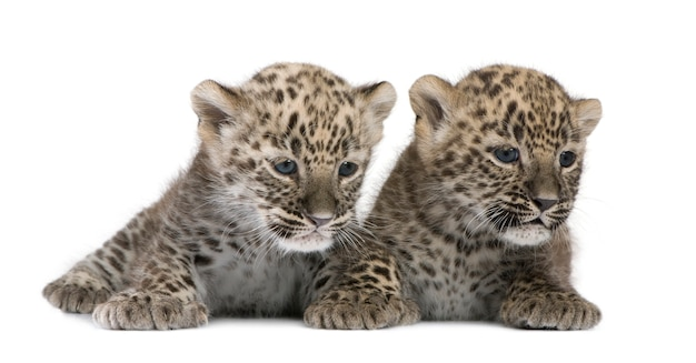 Cub léopard persan sur blanc isolé