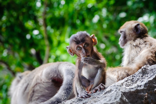 Cub macaca fascicularis assis sur un rocher et mange. singes bébés sur les îles phi phi, thaïlande