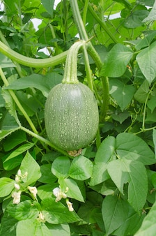 Cucurbita ficifolia en croissance.