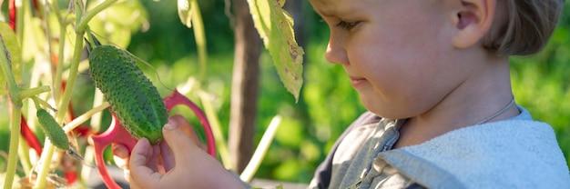 Cueillette des concombres en automne. concombre entre les mains d'un petit garçon qui récolte avec des ciseaux.