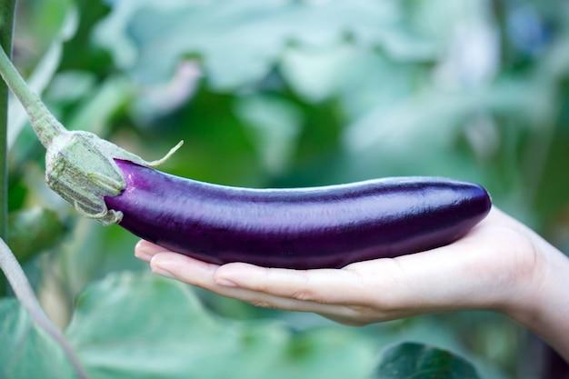 Cueillette à la main des aubergines mûres dans une serre jardin ferme