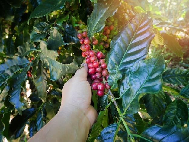 Cueillette à la main des grains de café arabica rouges sur le caféier