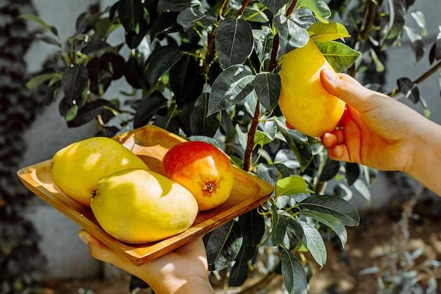 Cueillette à la main une poire mûre d'arbre dans un jardin.