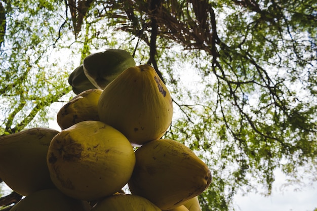 Cueillette de noix de coco suspendues d'un arbre