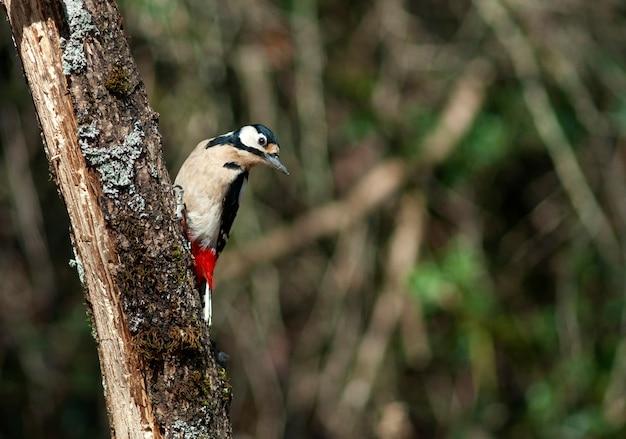 Cueillette de pin oiseau sur la branche d'arbre