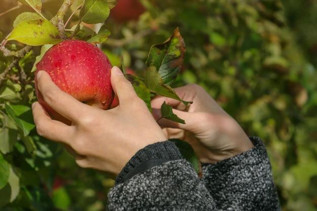 Cueillette de pommes dans un verger de pommes à la main, pomme biologique
