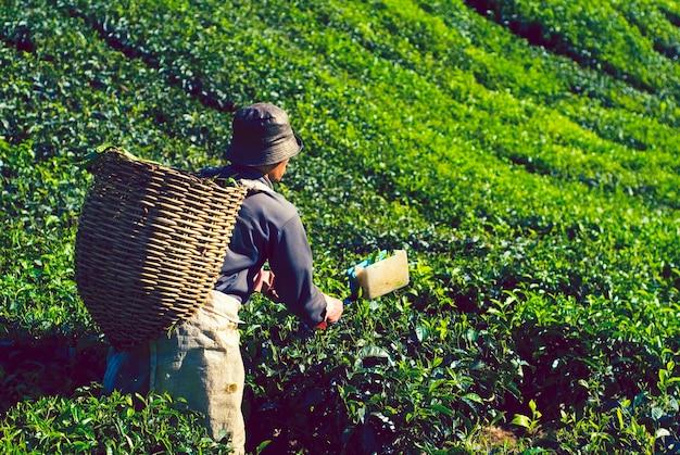Cueilleur de thé récoltant des feuilles de thé