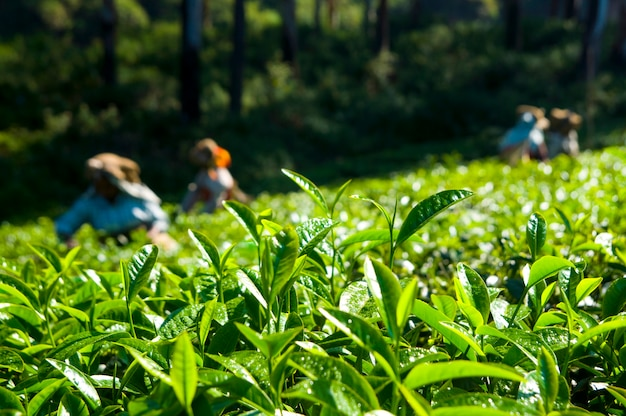 Cueilleurs de thé travaillant chez kerela india.