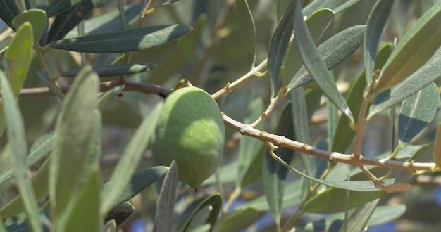 Cueillir les olives de l'arbre