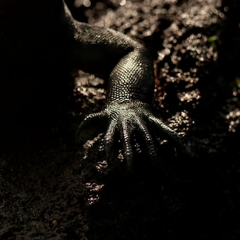 Cuisse d'un iguane marin (amblyrhynchus cristatus), punta espinoza, île fernandina, îles galapagos, équateur