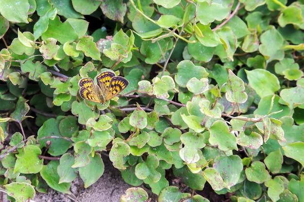 Cuivre boulder (boldenaria boldenarum)