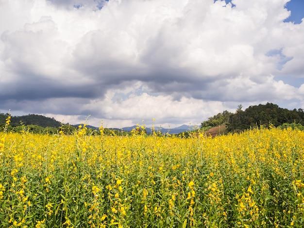 Cultiver le chanvre de sunn ou crotalaria juncea dans le champ