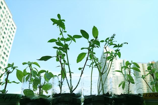 Cultiver du basilic thaï dans des bouteilles en plastique sur le côté de la fenêtre