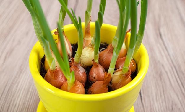 Cultiver des échalotes vertes. planter des oignons à la maison. fermer. mise au point sélective.