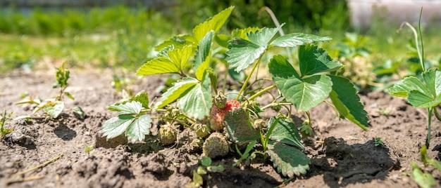 Cultiver des fraises sans chimie dans une ferme biologique