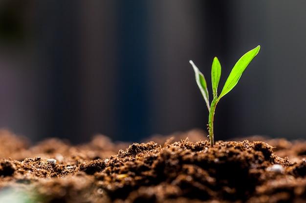 Cultiver de jeunes pousses de maïs vert dans un champ de ferme agricole