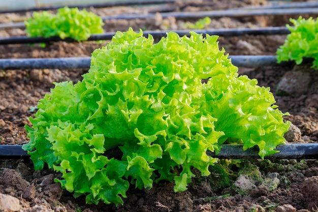 Cultiver une salade juteuse dans une serre avec irrigation goutte à goutte.