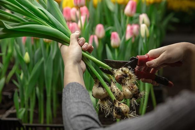 Cultiver des tulipes dans une serre - fabrication artisanale pour votre fête. fleurs printanières sélectionnées dans des couleurs roses tendres. fête des mères, de la femme, préparation pour les vacances, lumineux. fabrication de bouquet.