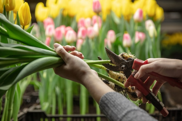 Cultiver des tulipes dans une serre fabriquée pour votre fête