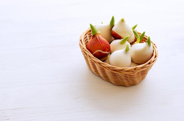 Cultiver des tulipes à la maison. les bulbes de tulipes ont germé.