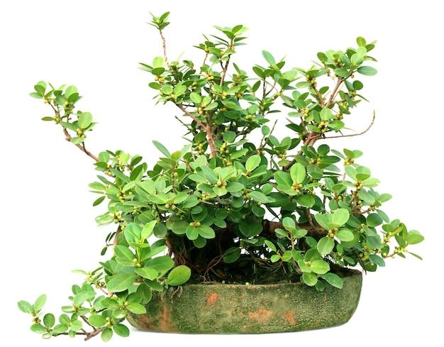 Culture de bonsaï d'un arbre banian sur un pot sur fond blanc