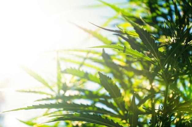 Culture de cannabis en plein air les rayons du soleil brillent sur les feuilles de marijuana