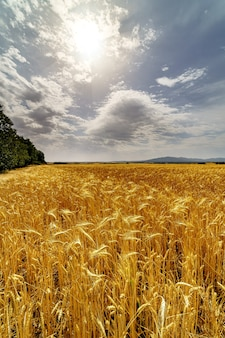 Culture de céréales, champ d'épi avec ciel d'orage nuageux. la lumière du soleil avec cloudscape.