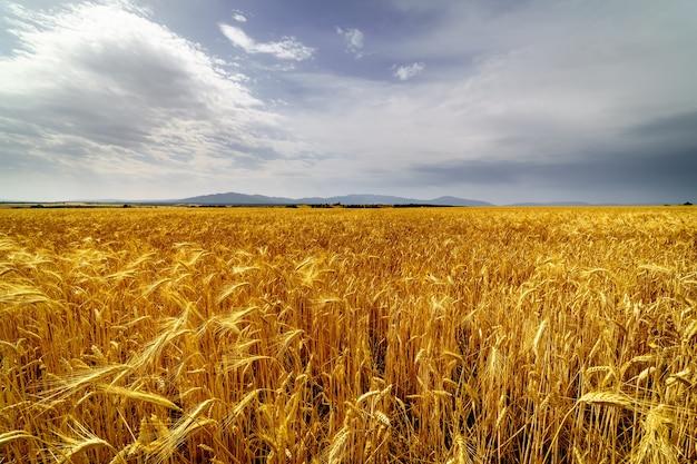 Culture de céréales, champ d'épi avec ciel d'orage nuageux.
