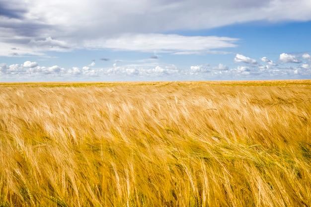 Culture de céréales dorées